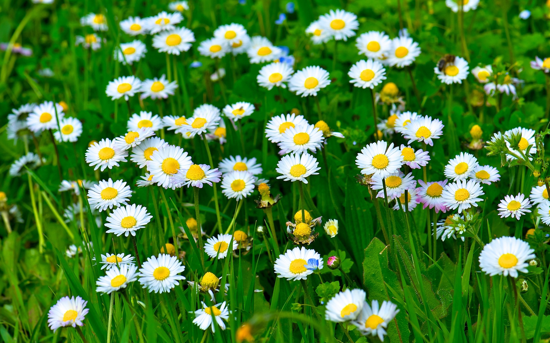HD-White-Daisy-Flowers-Grass-Leaves-Green-Widescreen-High-Definition-Wallpaper-Download-Free
